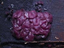 El pequeño jellydisc o jalea púrpura fungoso cae, los sarcoides de Ascocoryne, en vieja macro de madera mojada, el foco selectivo Imagenes de archivo
