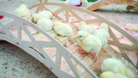El pequeño juego de los polluelos y se relaja