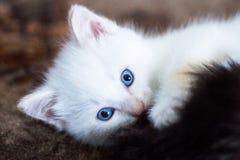 El pequeño jugar blanco del gatito Fotografía de archivo