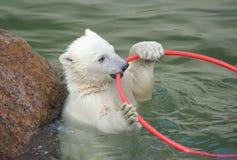 El pequeño jugar blanco del oso polar fotografía de archivo