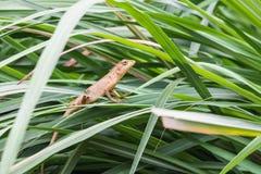 el pequeño lagarto de Asia fotografía de archivo