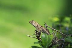 El pequeño lagarto divertido que se arrastra alrededor y caza Bush espinoso a fotos de archivo libres de regalías