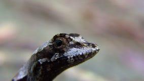 El pequeño lagarto está presentando en la cámara en selva tropical del ` s de Guyana