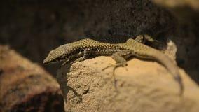 El pequeño lagarto está tomando el sol en la piedra, cierre salvaje de la vida para arriba, exposición del parque zoológico almacen de metraje de vídeo