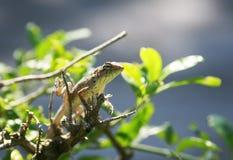 El pequeño lagarto que se arrastra alrededor y caza Bush espinoso entre t foto de archivo