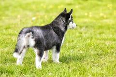 El pequeño lobo mira en la distancia Visión trasera Foto de archivo libre de regalías