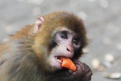 El pequeño mono está comiendo una zanahoria Imagen de archivo libre de regalías
