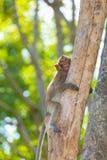 El pequeño mono precioso (Macaque Largo-Atado) está actuando Fotografía de archivo libre de regalías
