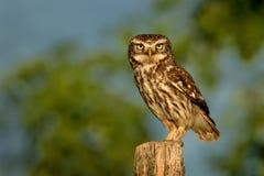 El pequeño noctula de Owl Athene se encaramó en un cierre pálido para arriba aclarado igualando el sol imagen de archivo