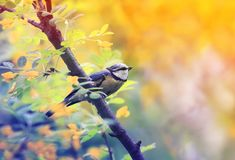 El pequeño pájaro brillante del tit azul sienta en Bush floreciente del acacia i imagenes de archivo