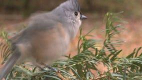 el pequeño pájaro del paro aterriza el pino almacen de metraje de vídeo