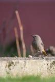 El pequeño pájaro del solo redstart se coloca en el jardín con el gusano grande Foto de archivo libre de regalías