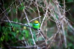 El pequeño pájaro verde colorido nombrado abeja-comedor se está sentando en una ramita seca en el Yala Nationalpark Fotos de archivo