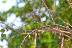 El pequeño pájaro verde colorido nombrado abeja-comedor se está sentando en una ramita seca en el Yala Nationalpark Fotografía de archivo libre de regalías
