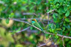 El pequeño pájaro verde colorido nombrado abeja-comedor se está sentando en una ramita seca en el Yala Nationalpark Imagenes de archivo