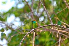 El pequeño pájaro verde colorido nombrado abeja-comedor se está sentando en una ramita seca en el Yala Nationalpark Imagen de archivo libre de regalías