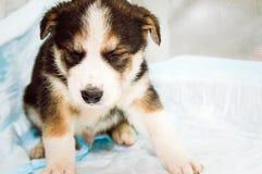 El pequeño perrito blanco-breasted mestizo cayó dormido imágenes de archivo libres de regalías