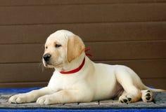El pequeño perrito de Labrador en un fondo marrón Fotografía de archivo