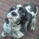 El pequeño perrito manchado de cocker spaniel mira de debajo para arriba imagenes de archivo