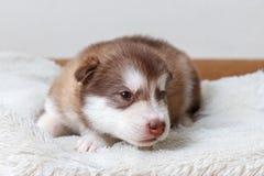 El pequeño perrito rojo-dirigido de la raza el Malamute de Alaska que miente en el piso y que mira la cámara Fotografía de archivo