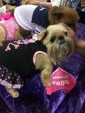 El pequeño perro adentro se viste sube Fotos de archivo libres de regalías