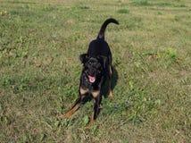 El pequeño perro amistoso - un pinscher, juegos en paseo fotos de archivo libres de regalías