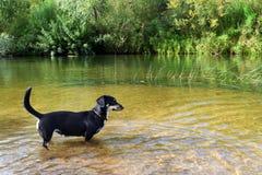 El pequeño perro basset del perro se coloca en el agua foto de archivo libre de regalías