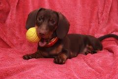 El pequeño perro basset lindo del chocolate del perro con el bal pone en fondo rosado Foto de archivo libre de regalías