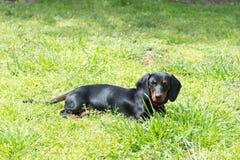 El pequeño perro basset negro miente en la hierba verde fotografía de archivo libre de regalías