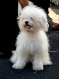 El pequeño perro blanco, cría-ODIS Foto de archivo