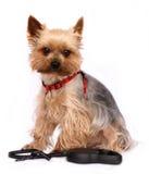 El pequeño perro con Perro-lleva Imagen de archivo