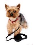 El pequeño perro con Perro-lleva Imágenes de archivo libres de regalías
