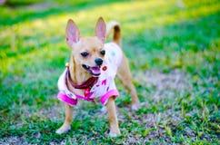 El pequeño perro de la chihuahua está corriendo en el césped fotografía de archivo libre de regalías