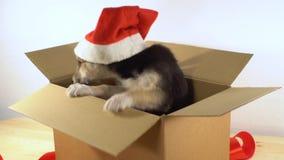 El pequeño perro de perrito en el sombrero de Papá Noel se sienta en caja del franqueo con la cinta roja almacen de metraje de vídeo