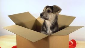 El pequeño perro de perrito se sienta en una caja del franqueo con la cinta roja metrajes