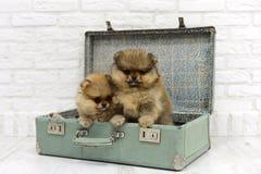 El pequeño perro de Pomerania de los perritos se sienta y juega en una maleta en un fondo blanco en estudio Fotos de archivo