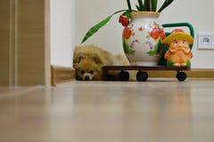 El pequeño perro de Pomerania del perro está en la esquina del cuarto Imagenes de archivo
