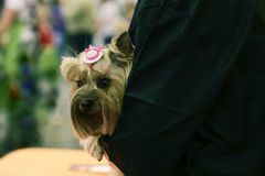 El pequeño perro en las manos de mujeres Foto de archivo