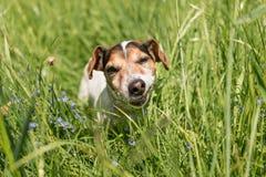 El pequeño perro lindo de Jack Russell Terrier está comiendo la hierba en un prado Perro en un prado de la primavera fotos de archivo