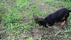 El pequeño perro lindo está cavando un agujero en la tierra
