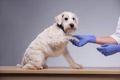 El pequeño perro lindo visita al veterinario Imagen de archivo libre de regalías