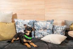 El pequeño perro negro adoptado hermoso del terrier miente en las almohadas en el sofá foto de archivo