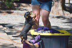 El pequeño perro negro pide el ` s en las piernas de él dueño del ` s fotografía de archivo libre de regalías
