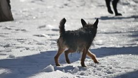 El pequeño perro perdido sin hogar marca el territorio pissing en la nieve el invierno es frío el problema de perros perdidos metrajes
