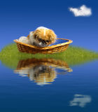 El pequeño perro que mira a él es reflexión Foto de archivo libre de regalías