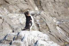 El pequeño pingüino Fotografía de archivo libre de regalías