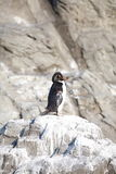 El pequeño pingüino Fotos de archivo libres de regalías