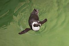 El pequeño pingüino flota en un agua fotografía de archivo libre de regalías