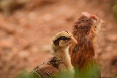 El pequeño polluelo se sienta sobre madre Imagenes de archivo
