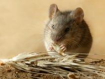 El pequeño ratón del campañol del primer come el grano del centeno cerca de la espiguilla del centeno en el campo foto de archivo
